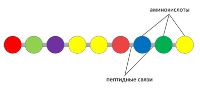 Первичная структура белка (протеина)